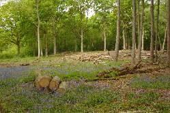 Salcey bluebells