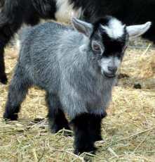 Pygmy-goat-at-Mead-Open-Farm